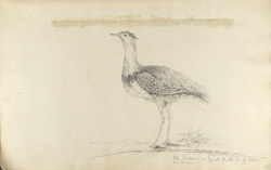 f.14'   Otis Tarda or Great Bustard of Asia.'